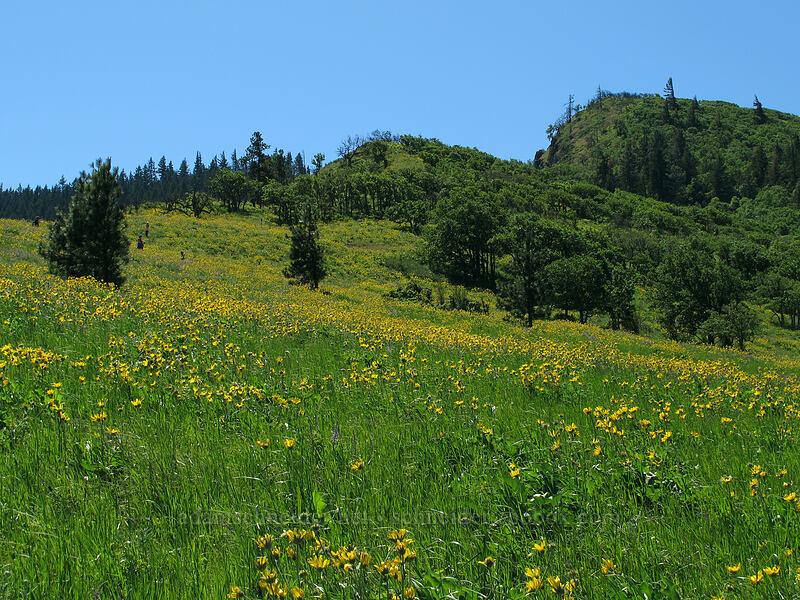 balsamroot (Balsamorhiza careyana) [Tom McCall Point Trail, Wasco County, Oregon]