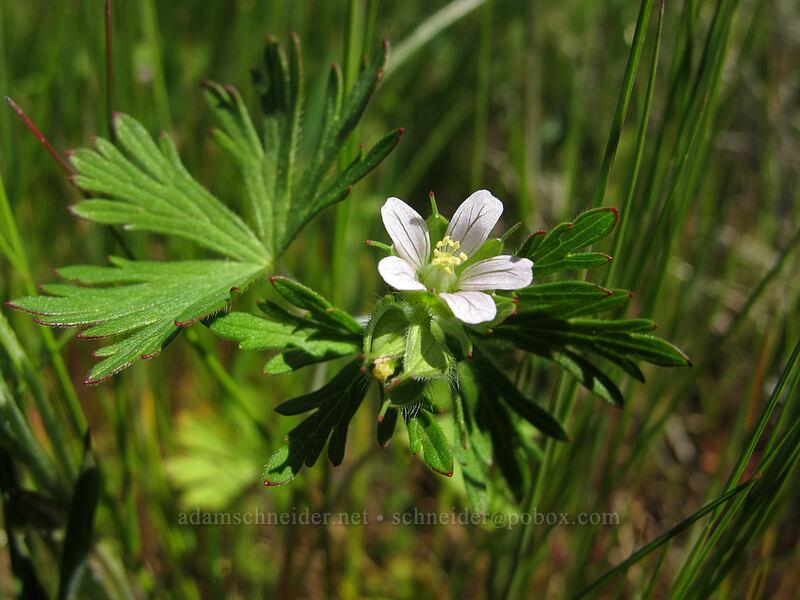 Carolina geranium (Geranium carolinianum) [Rowena Plateau, Wasco County, Oregon]