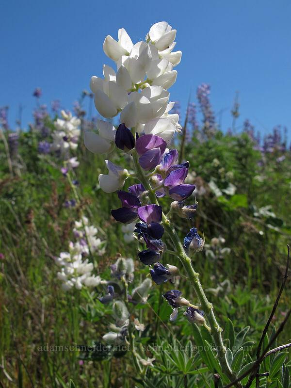 white-and-purple lupine (Lupinus sp.) [Rowena Plateau, Wasco County, Oregon]