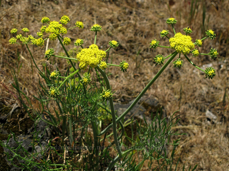 slender-fruited desert parsley (Lomatium leptocarpum) [Rowena Plateau, Wasco County, Oregon]