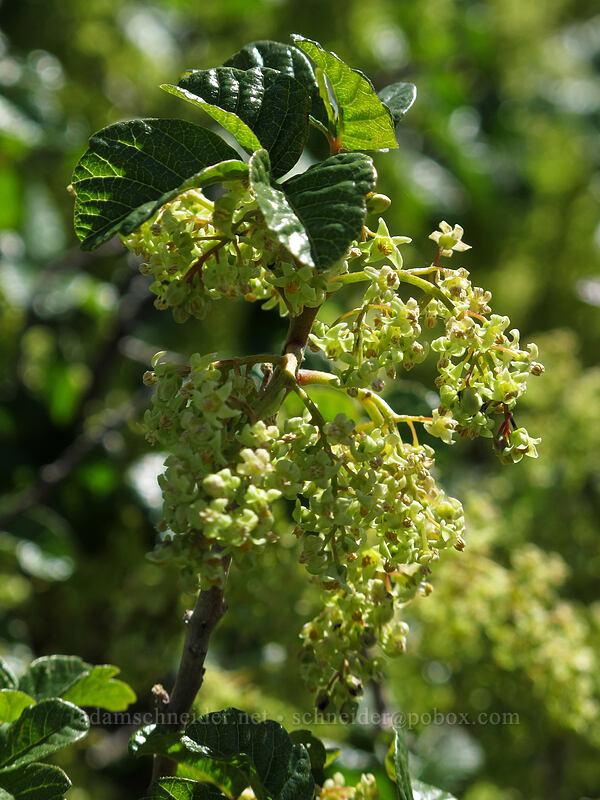 Pacific poison-oak (Toxicodendron diversilobum (Rhus diversiloba)) [Rowena Plateau, Wasco County, Oregon]