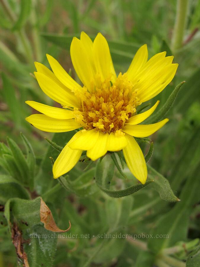 Willamette Valley gumweed (Grindelia integrifolia) [Baskett Slough NWR, Polk County, Oregon]