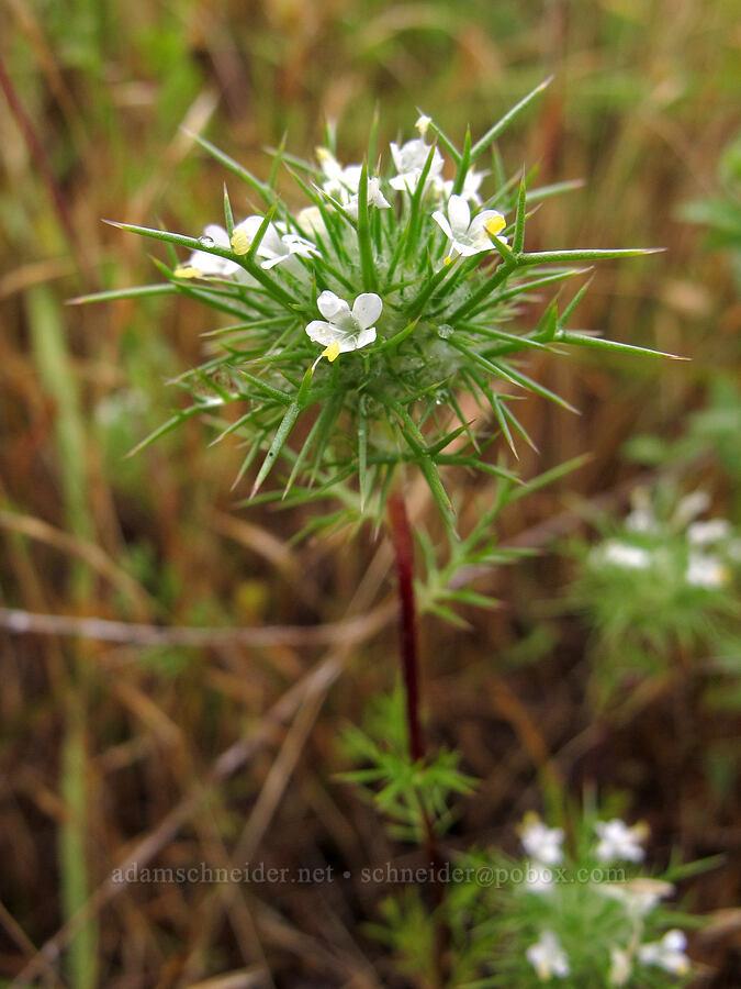 needle-leaf navarretia (Navarretia intertexta) [Baskett Slough NWR, Polk County, Oregon]
