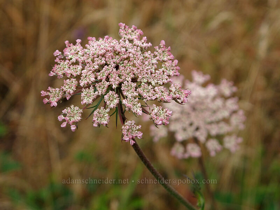 Queen Anne's lace (Daucus carota) [Baskett Slough NWR, Polk County, Oregon]