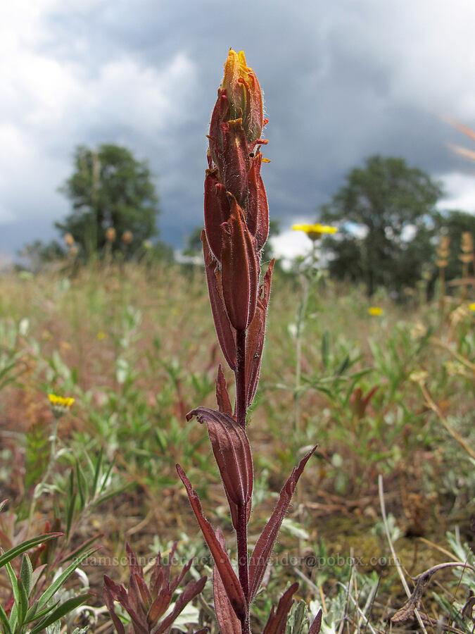 golden paintbrush (Castilleja levisecta) [Baskett Slough NWR, Polk County, Oregon]