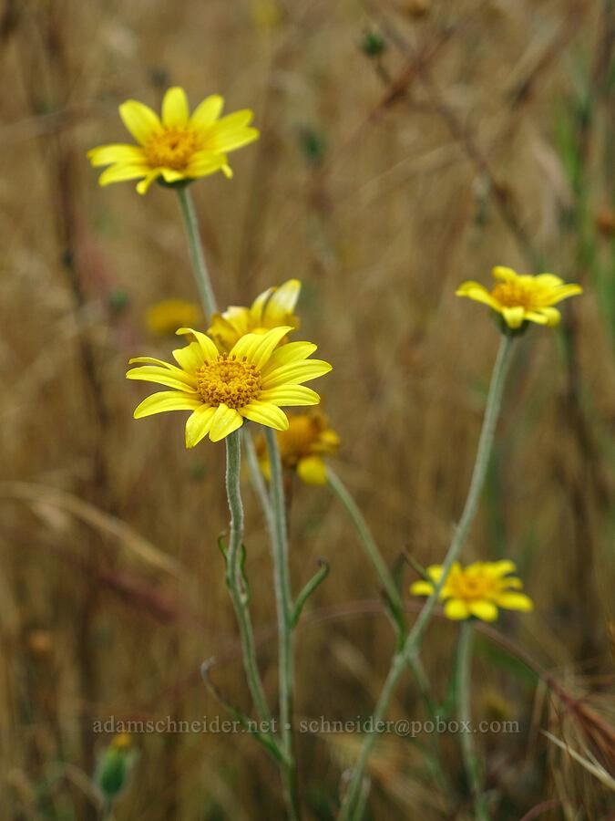Oregon sunshine (Eriophyllum lanatum) [Baskett Slough NWR, Polk County, Oregon]