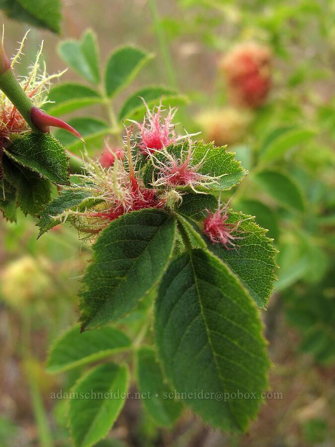 mossy rose galls (Diplolepis rosae) [Baskett Slough NWR, Polk County, Oregon]