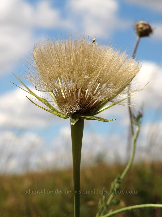 yellow salsify seed-heads (Tragopogon dubius) [Baskett Slough NWR, Polk County, Oregon]