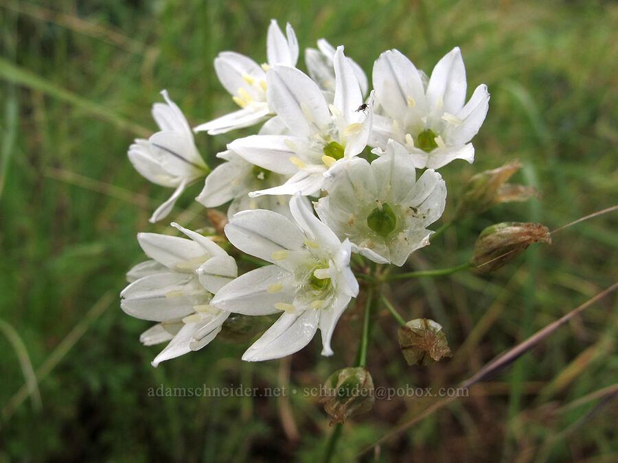 hyacinth brodiaea (Triteleia hyacinthina) [Baskett Slough NWR, Polk County, Oregon]