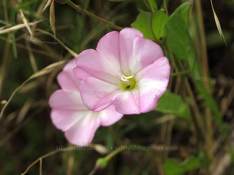 field bindweed (Convolvulus arvensis) [Baskett Slough NWR, Polk County, Oregon]