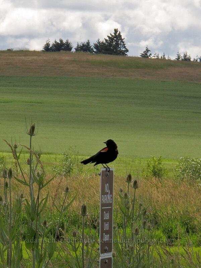 red-winged blackbird (Agelaius phoeniceus) [Baskett Slough NWR, Polk County, Oregon]