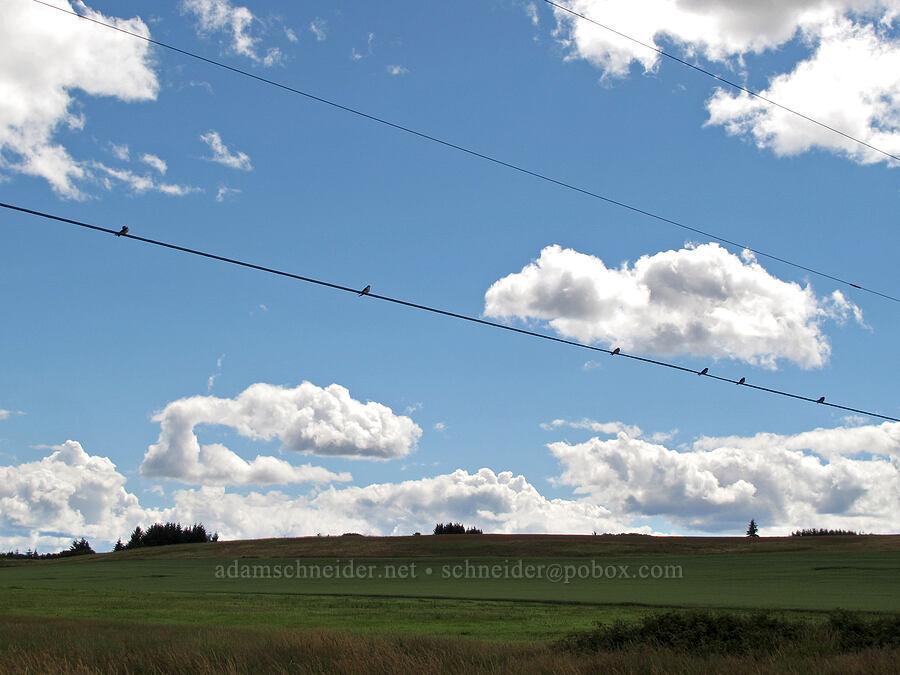 birds on a wire [Baskett Slough NWR, Polk County, Oregon]