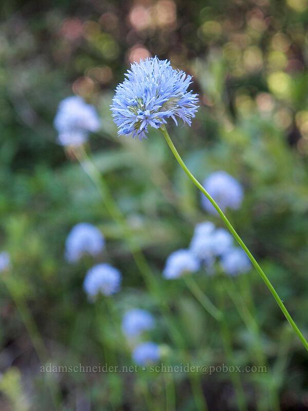 blue-head gilia (Gilia capitata) [Grassy Knoll Trailhead, Gifford Pinchot National Forest, Washington]