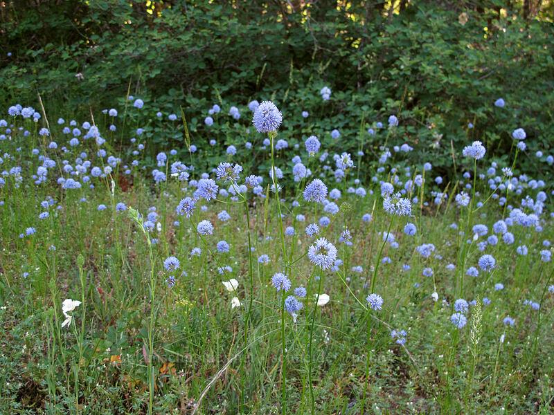 blue-head gilia (Gilia capitata) [Grassy Knoll Trail, Gifford Pinchot National Forest, Washington]