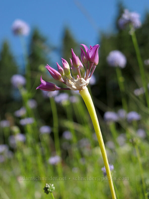 taper-tip onion & blue-head gilia (Allium acuminatum, Gilia capitata) [Grassy Knoll Trail, Gifford Pinchot National Forest, Washington]