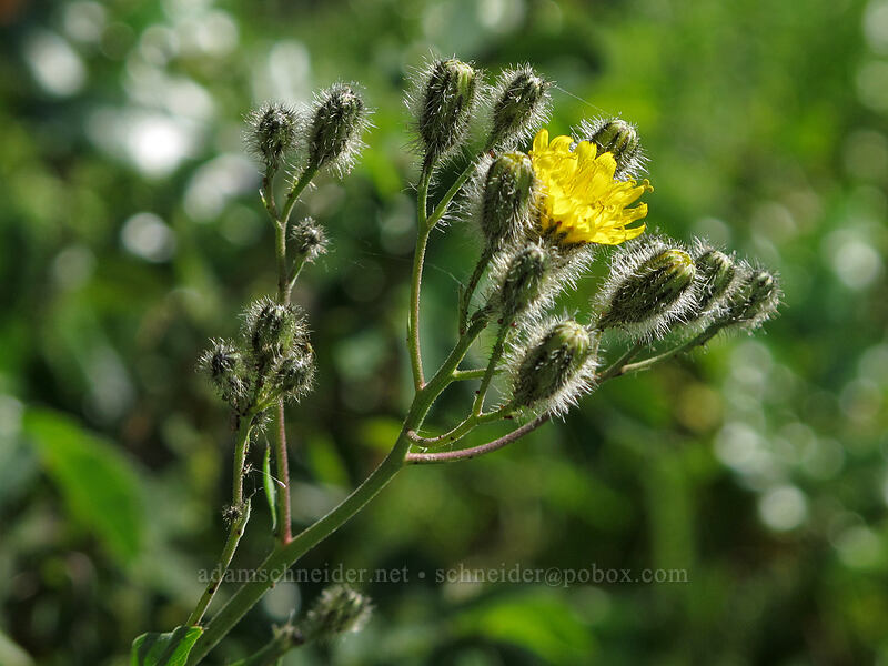 hairy hawkweed (Hieracium scouleri) [Grassy Knoll Trail, Gifford Pinchot National Forest, Washington]