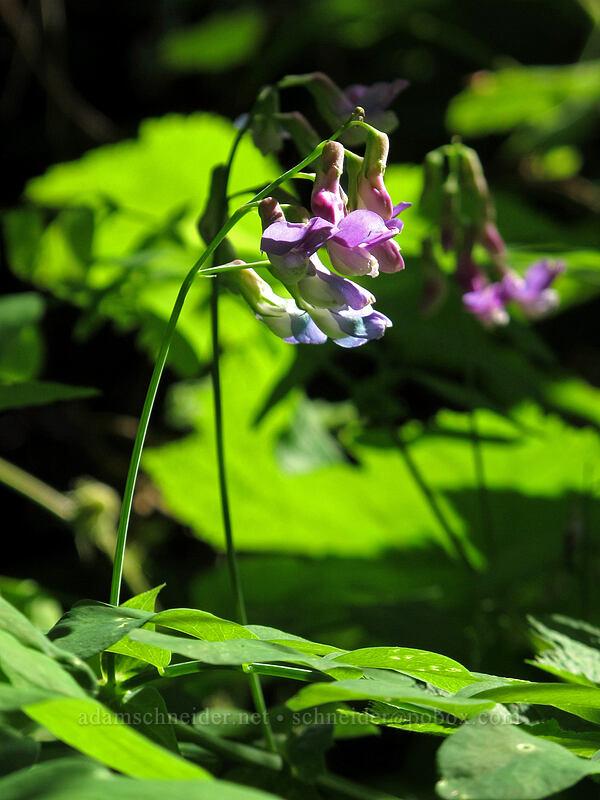 leafy pea (Lathyrus polyphyllus) [Grassy Knoll Trail, Gifford Pinchot National Forest, Washington]