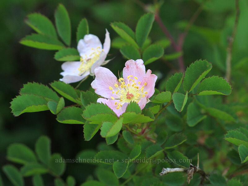 bald-hip rose (Rosa gymnocarpa) [Grassy Knoll Trail, Gifford Pinchot National Forest, Washington]