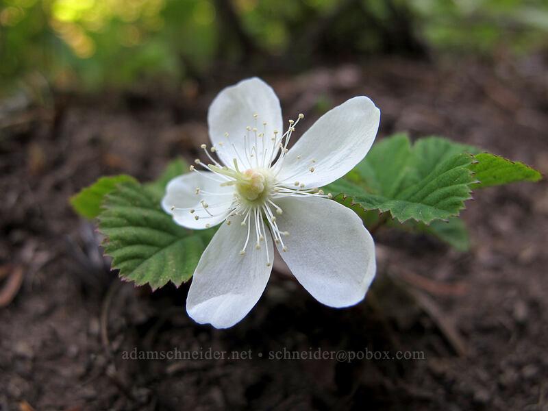 dwarf bramble (Rubus lasiococcus) [Grassy Knoll Trail, Gifford Pinchot National Forest, Washington]