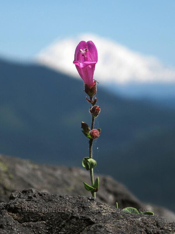 cliff penstemon (Penstemon rupicola) [Grassy Knoll Trail, Gifford Pinchot National Forest, Washington]