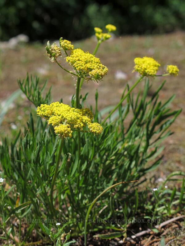 nine-leaf desert parsley (Lomatium triternatum) [Grassy Knoll Trail, Gifford Pinchot National Forest, Washington]