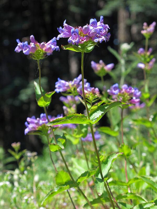 Cascade penstemon (Penstemon serrulatus) [Grassy Knoll Trail, Gifford Pinchot National Forest, Washington]