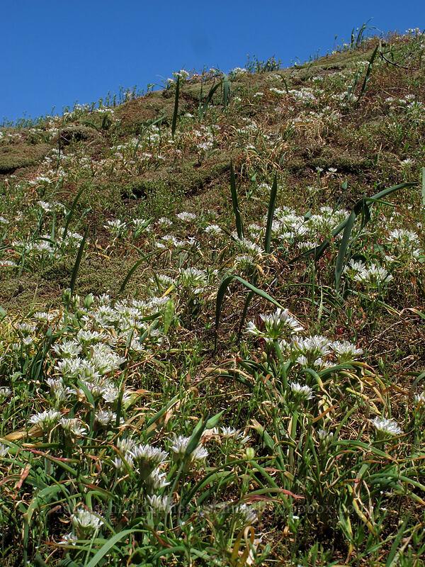 scalloped onion (Olympic onion) (Allium crenulatum) [Grassy Knoll Trail, Gifford Pinchot National Forest, Washington]