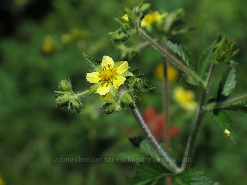 sticky cinquefoil (Drymocallis glandulosa (Potentilla glandulosa)) [Grassy Knoll Trail, Gifford Pinchot National Forest, Washington]