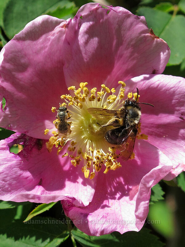 two bees on a Nootka rose (Rosa nutkana) [Grassy Knoll Trail, Gifford Pinchot National Forest, Washington]