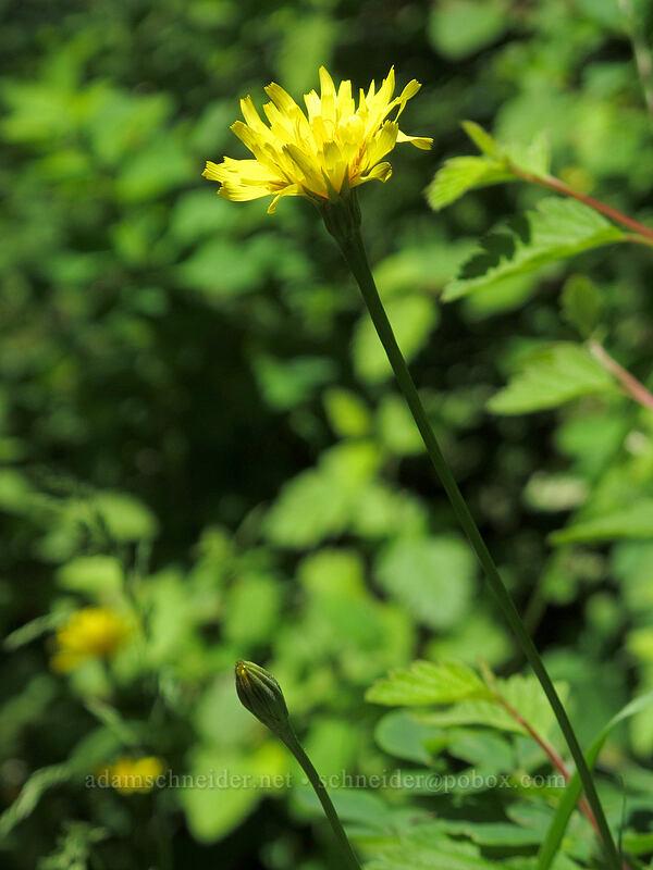 cut-leaf silverpuffs (Microseris laciniata) [Grassy Knoll Trail, Gifford Pinchot National Forest, Washington]