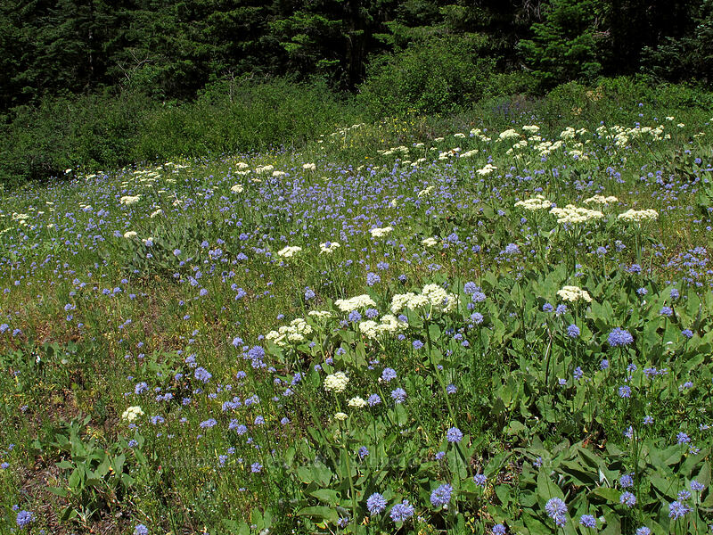 heart-leaf buckwheat & blue-head gilia (Eriogonum compositum, Gilia capitata) [Grassy Knoll Trail, Gifford Pinchot National Forest, Washington]