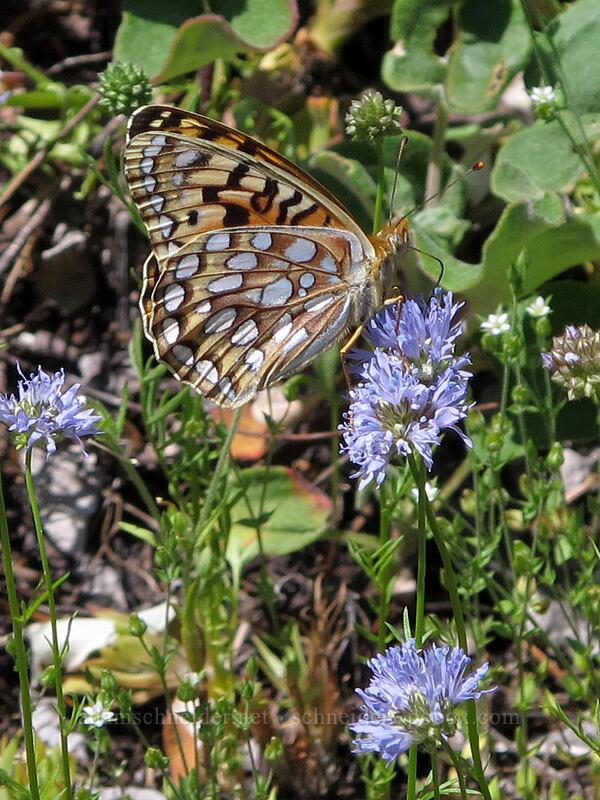coronis fritillary butterfly on blue-head gilia (Speyeria coronis, Gilia capitata) [Grassy Knoll Trail, Gifford Pinchot National Forest, Washington]