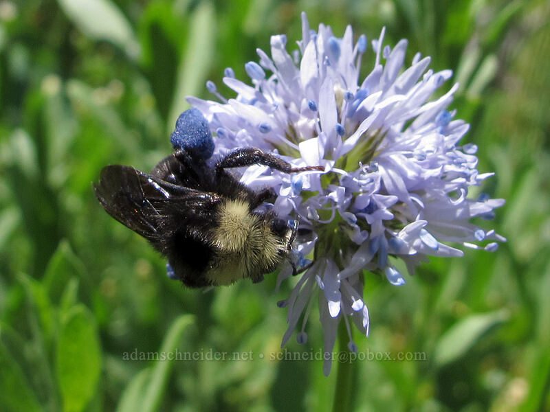 bumblebee on blue-head gilia (Gilia capitata) [Grassy Knoll Trail, Gifford Pinchot National Forest, Washington]