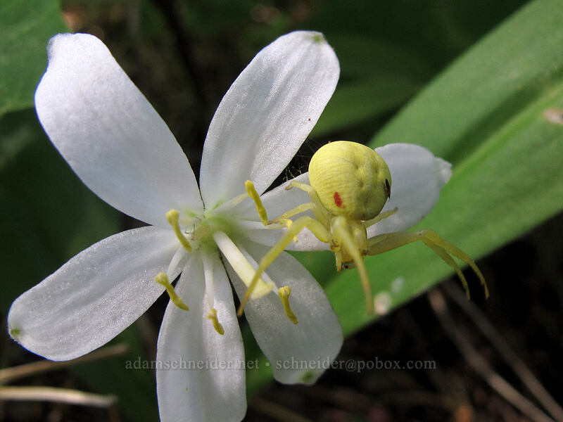 goldenrod crab spider on bead lily (Misumena vatia, Clintonia uniflora) [Grassy Knoll Trail, Gifford Pinchot National Forest, Washington]