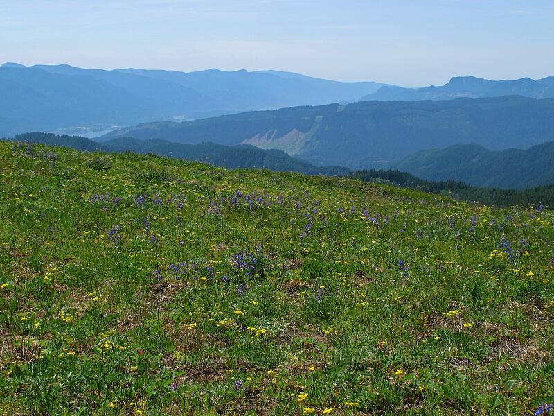 summit wildflowers (Penstemon subserratus, Lomatium triternatum, Calochortus subalpinus) [Grassy Knoll, Gifford Pinchot National Forest, Washington]