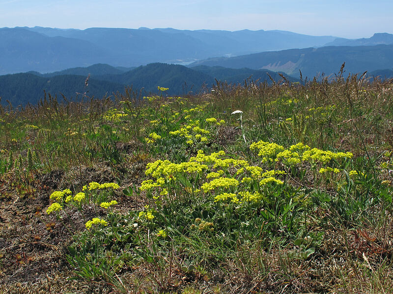 sulphur-flower buckwheat (Eriogonum umbellatum) [Grassy Knoll, Gifford Pinchot National Forest, Washington]