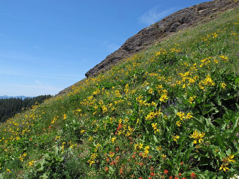 balsamroot (Balsamorhiza sp.) [Grassy Knoll, Gifford Pinchot National Forest, Washington]