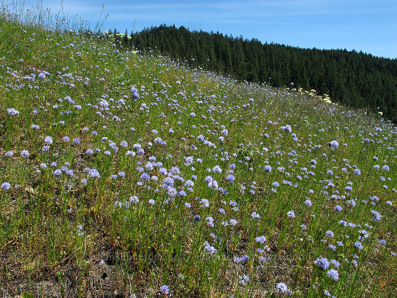 blue-head gilia (Gilia capitata) [Grassy Knoll, Gifford Pinchot National Forest, Washington]