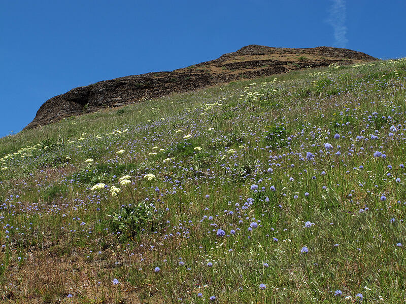 heart-leaf buckwheat & blue-head gilia (Eriogonum compositum, Gilia capitata) [Grassy Knoll, Gifford Pinchot National Forest, Washington]