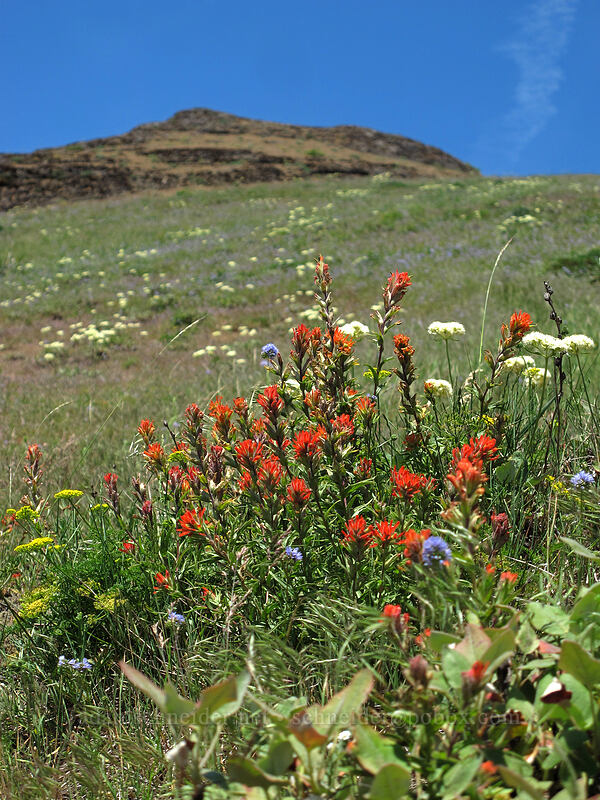 paintbrush & buckwheat (Castilleja hispida, Eriogonum compositum) [Grassy Knoll, Gifford Pinchot National Forest, Washington]