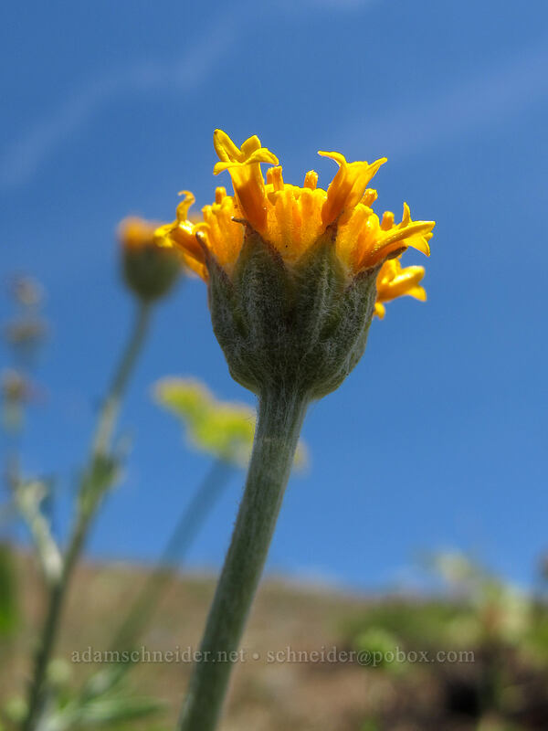 Oregon sunshine, rayless/discoid (Eriophyllum lanatum) [Grassy Knoll, Gifford Pinchot National Forest, Washington]