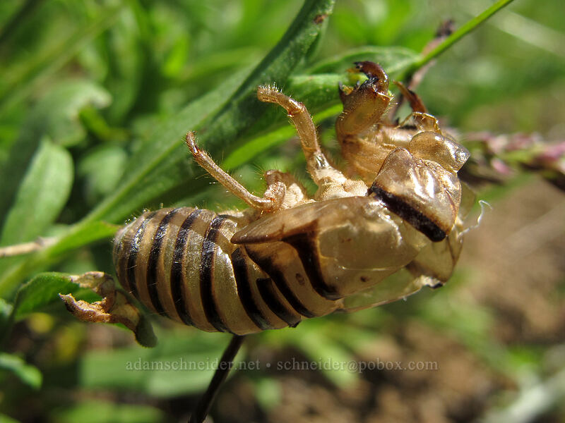 cicada exuvia (Okanagana sp.) [Grassy Knoll, Gifford Pinchot National Forest, Washington]