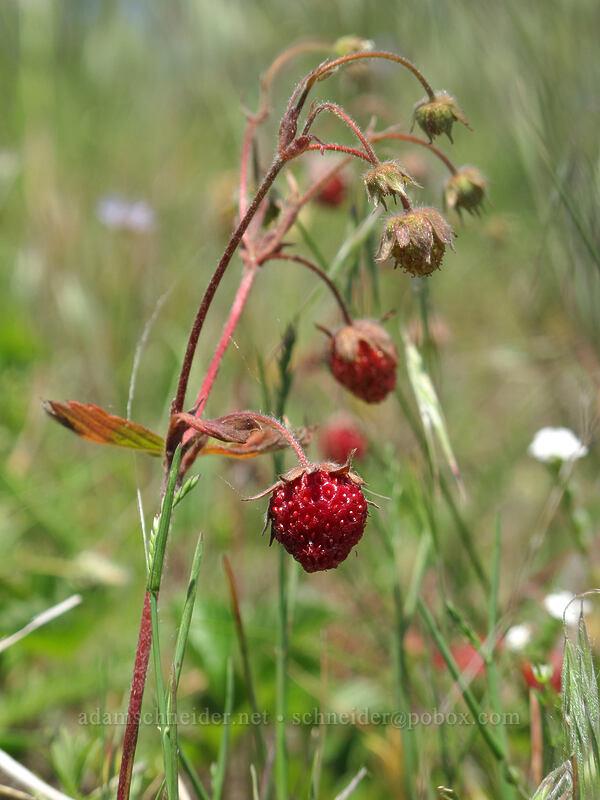 wild strawberries (Fragaria vesca) [Forest Road 68, Gifford Pinchot National Forest, Washington]