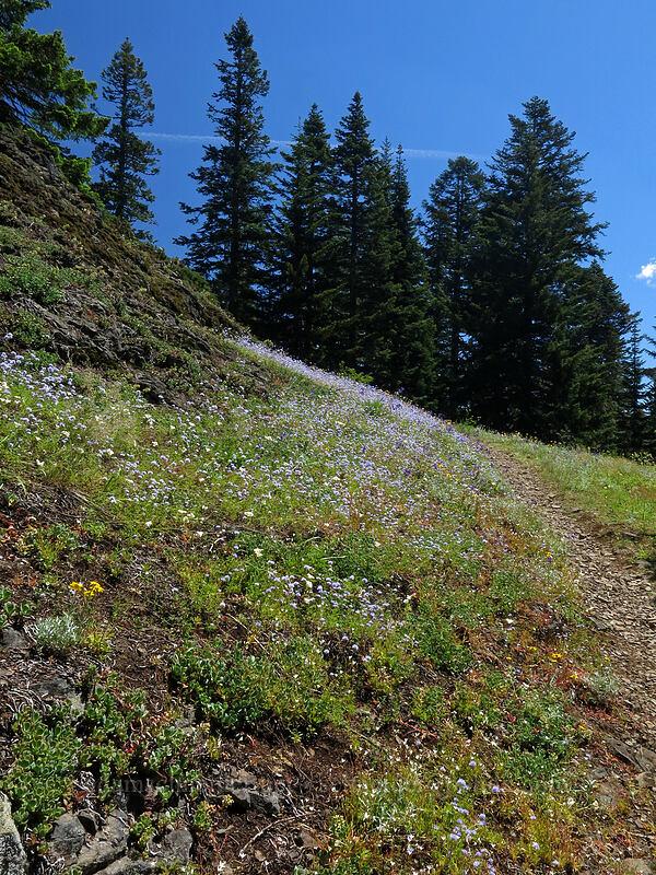 wildflowers (Gilia capitata, Calochortus subalpinus, Eriophyllum lanatum, Delphinium menziesii) [Cone Peak Trail, Willamette National Forest, Oregon]