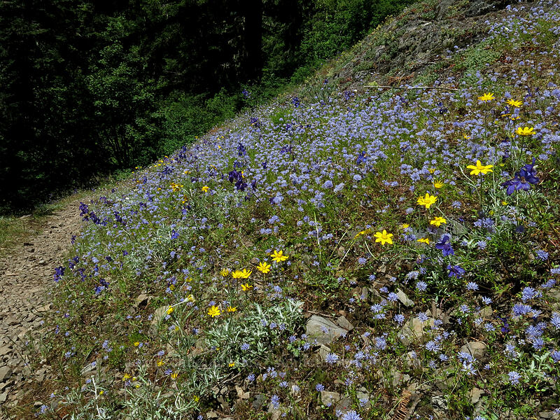 blue gilia, Oregon sunshine, & larkspur (Gilia capitata, Eriophyllum lanatum, Delphinium menziesii) [Cone Peak Trail, Willamette National Forest, Oregon]