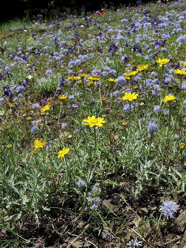 Oregon sunshine, blue gilia, & larkspur (Eriophyllum lanatum, Gilia capitata, Delphinium menziesii) [Cone Peak Trail, Willamette National Forest, Oregon]