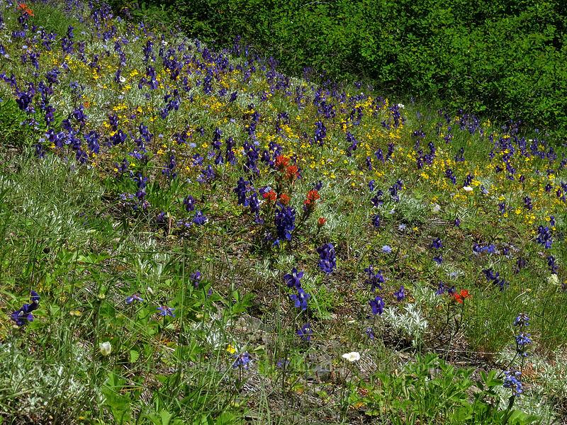 wildflowers (Castilleja sp., Delphinium menziesii, Penstemon procerus, Erythranthe guttata (Mimulus guttatus)) [Cone Peak Trail, Willamette National Forest, Oregon]