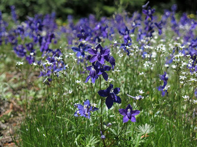 larkspur & sandwort (Delphinium menziesii, Arenaria sp.) [Cone Peak Trail, Willamette National Forest, Oregon]