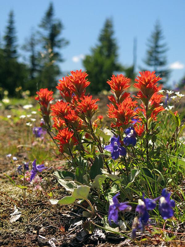 harsh paintbrush & larkspur (Castilleja hispida, Delphinium menziesii) [Cone Peak Trail, Willamette National Forest, Oregon]