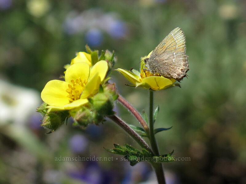 hairstreak butterfly on cinquefoil (Potentilla gracilis, Callophrys sp.) [Cone Peak Trail, Willamette National Forest, Oregon]